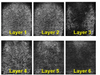 Subsurface and Layer Intertwined Template Protection Using Inherent Properties of Full-Field Optical Coherence Tomography Fingerprint Imaging