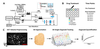 Volumetric growth tracking of patient-derived cancer organoids using optical coherence tomography