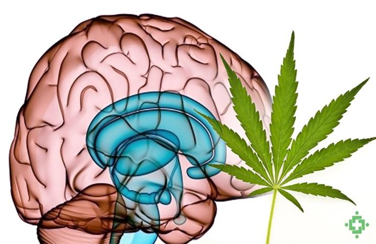Society for Neuroscience: Medical Marijuana Research